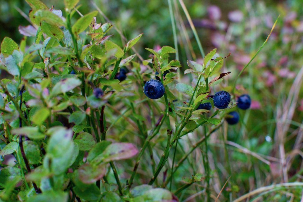 Ripe blueberries growing in the Austrian Alps