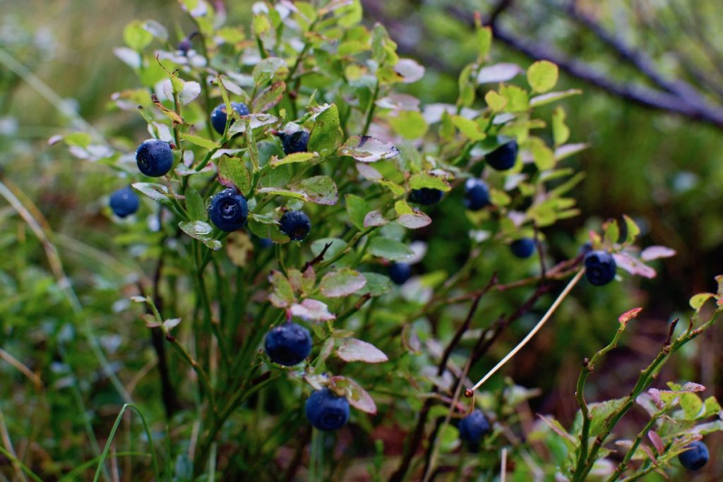 A wild blueberry bush with ripe berries