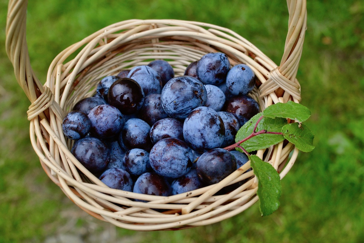 Freshly foraged wild plums in a basket