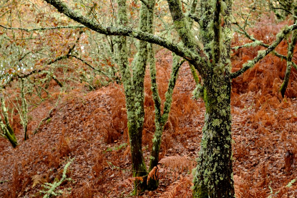 Mossy autumnal forest in Galicia