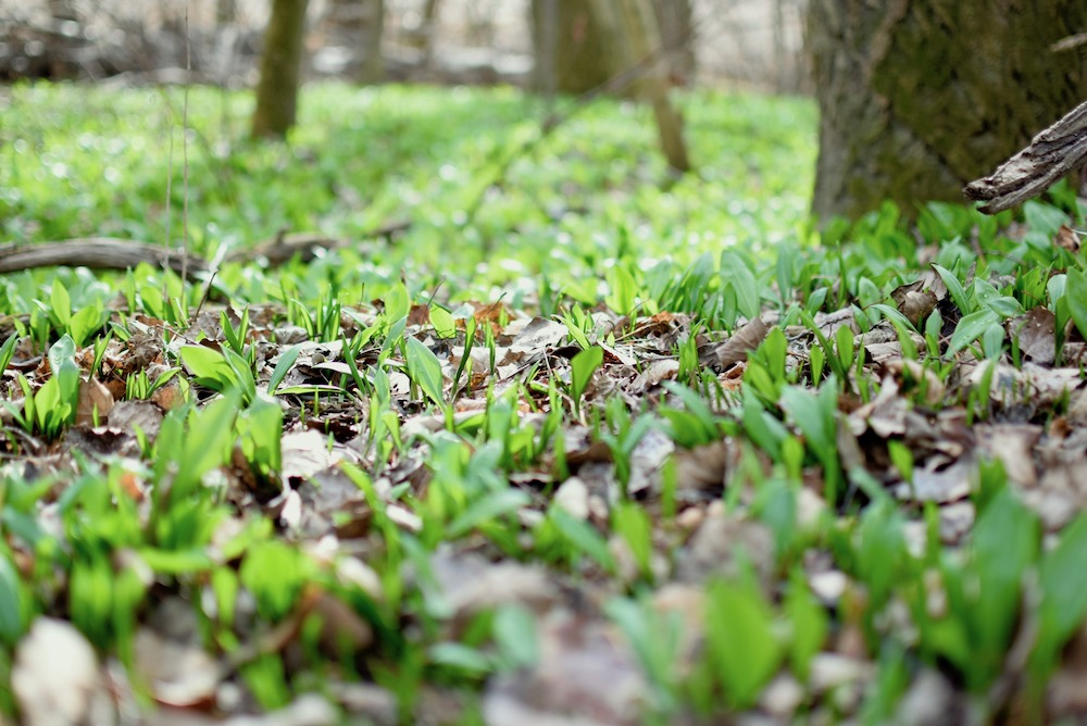 The fresh new leaves emerging from from the ground