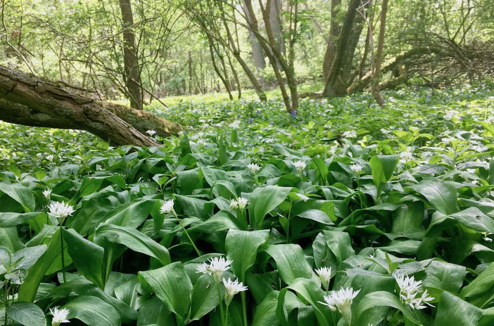The forest floor cover in a carpet of ramsons