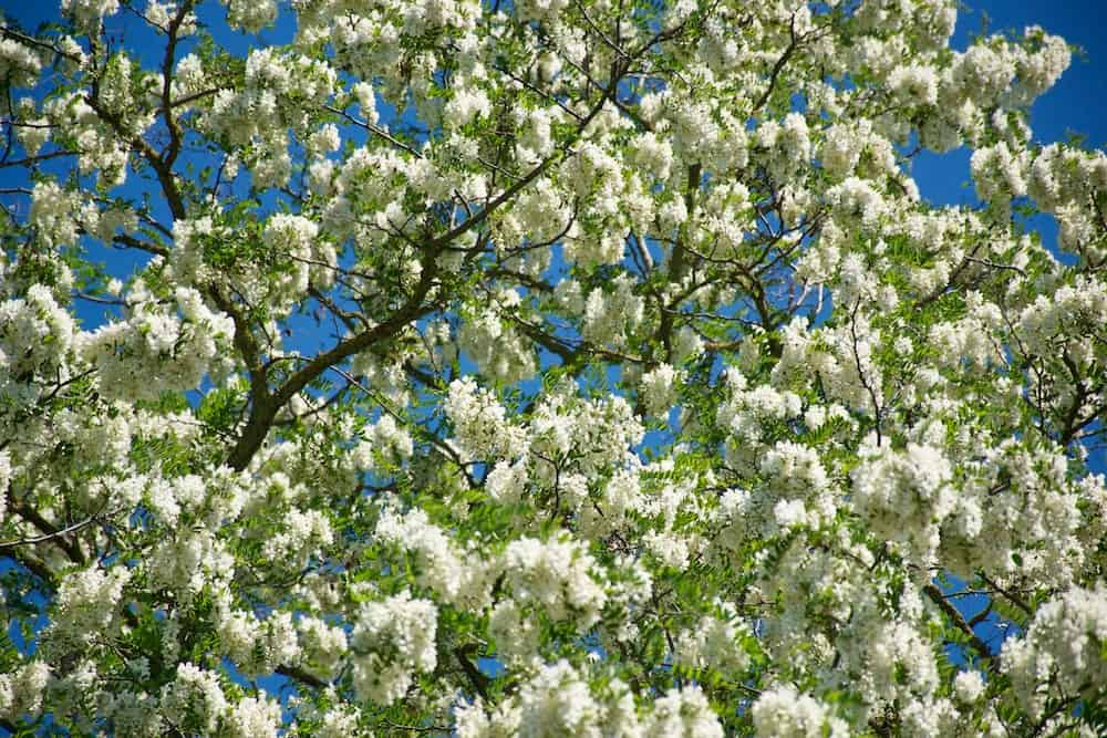 An acacia tree, Robinia pseudoacacia, covered in many white flowers