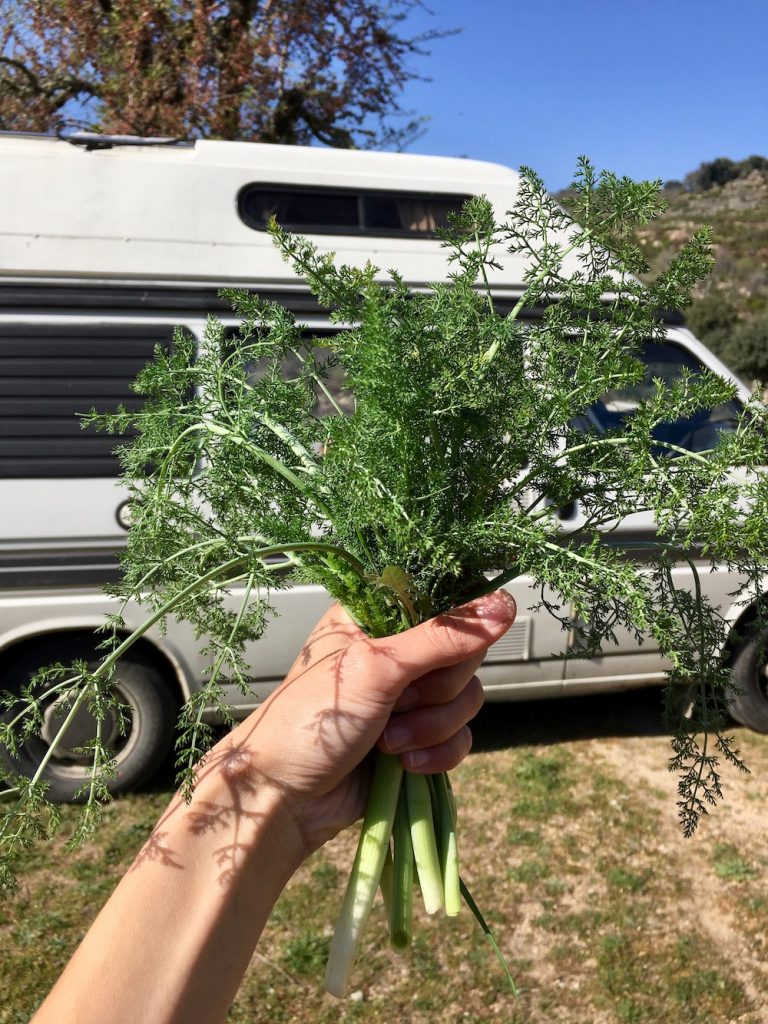 A bunch of foraged wild fennel in front of our campervan