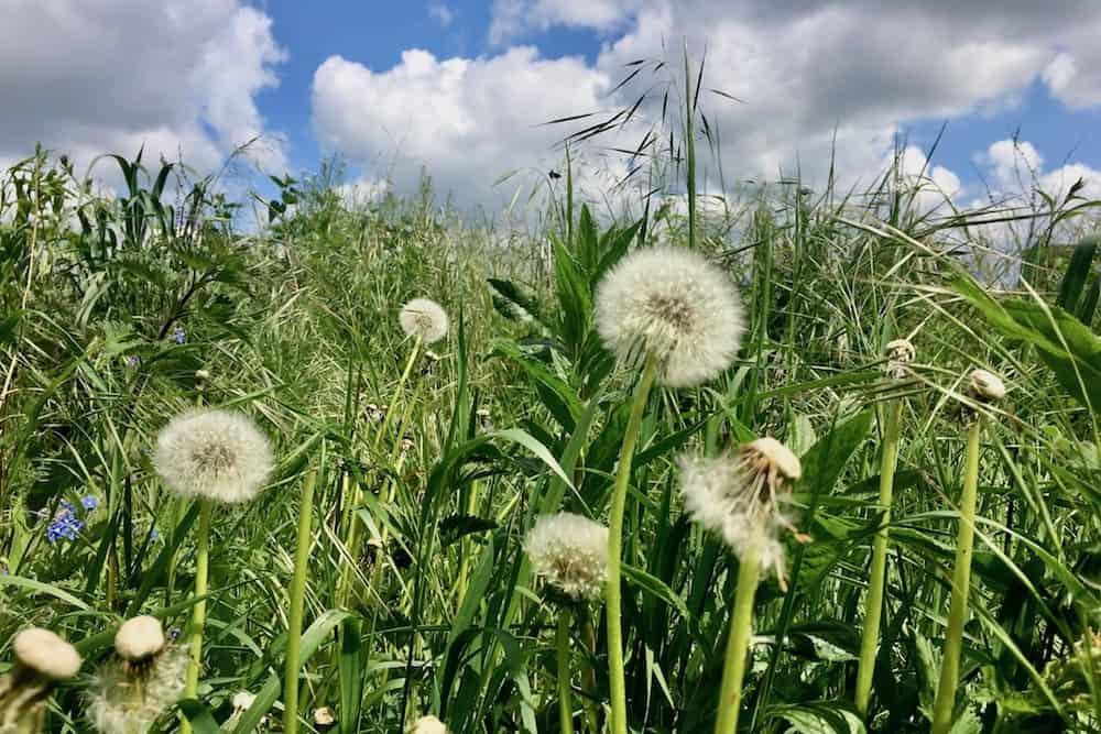 Dandelion seedheads against the sky