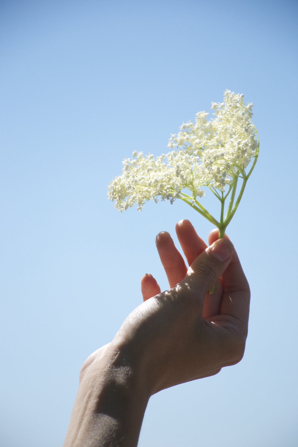 A hand holds a fresh, creamy white elderflower head against the sky