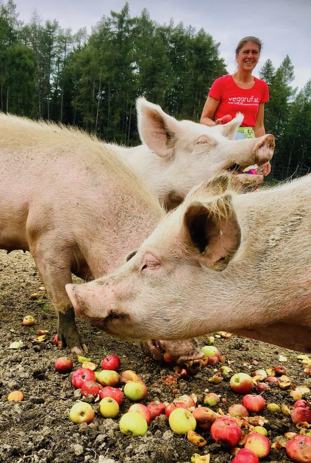 Pigs at a sanctuary eating apples