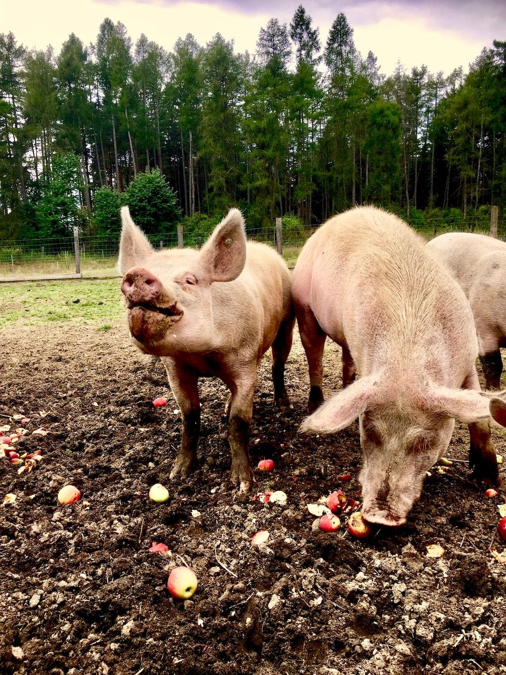 Pigs munching on apples in a meadow next to a forest.