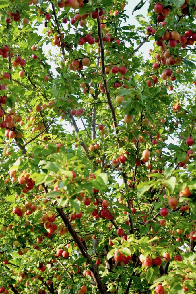 A tree full of red and orange wild plums