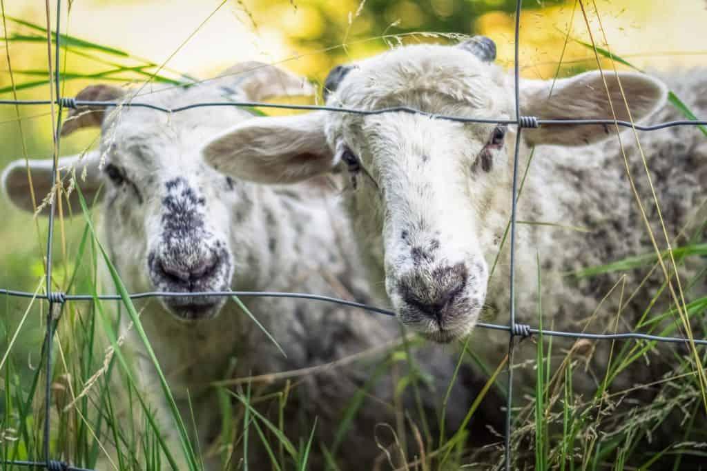 Sheep-Free Haggis