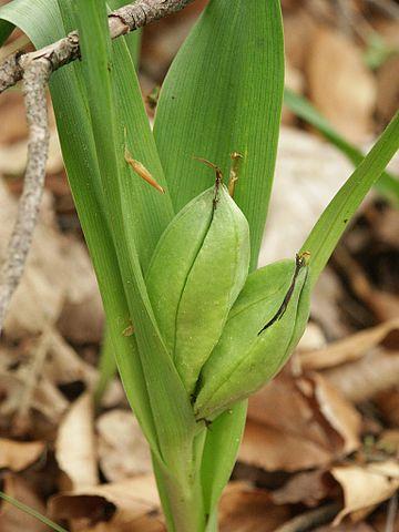 Meadow saffron leaves