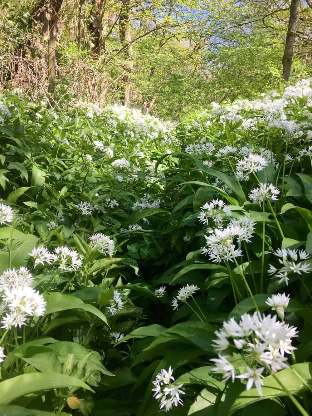 A ditch filled with flowering wild garlic