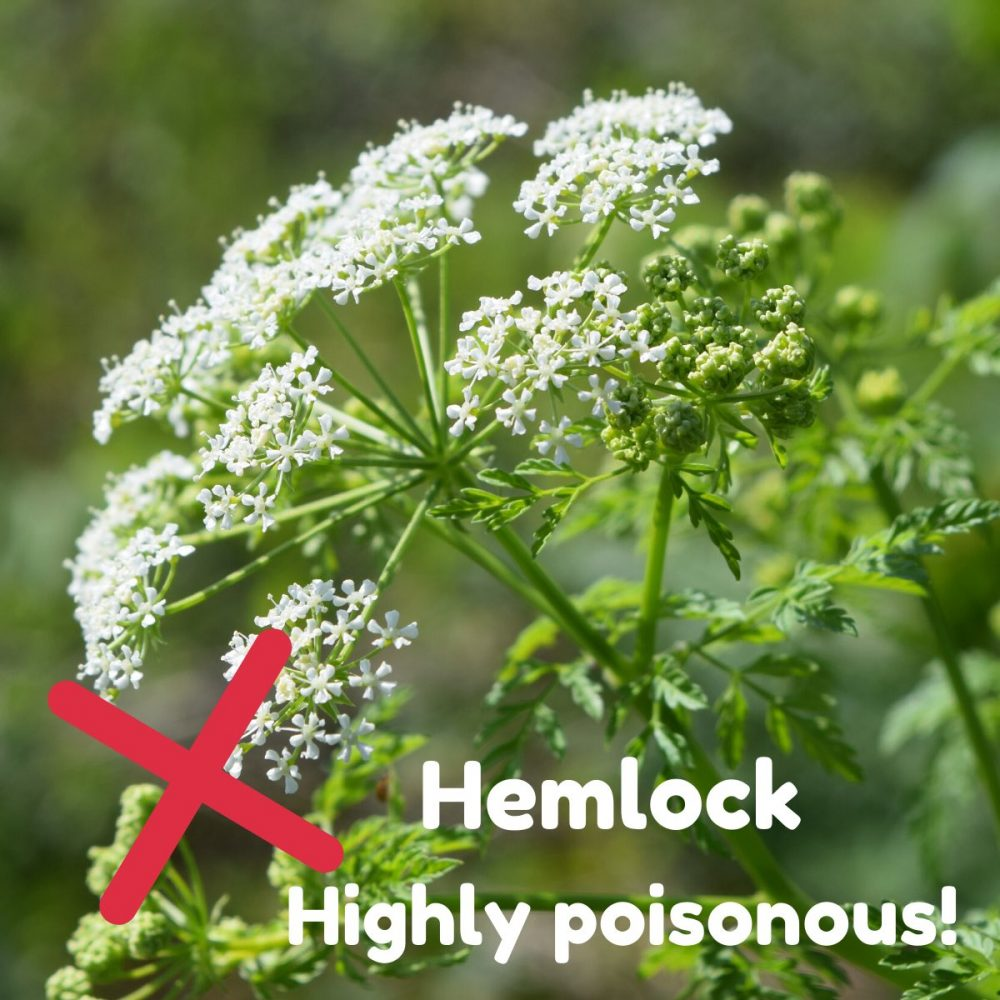 The white flower of hemlock and a red cross