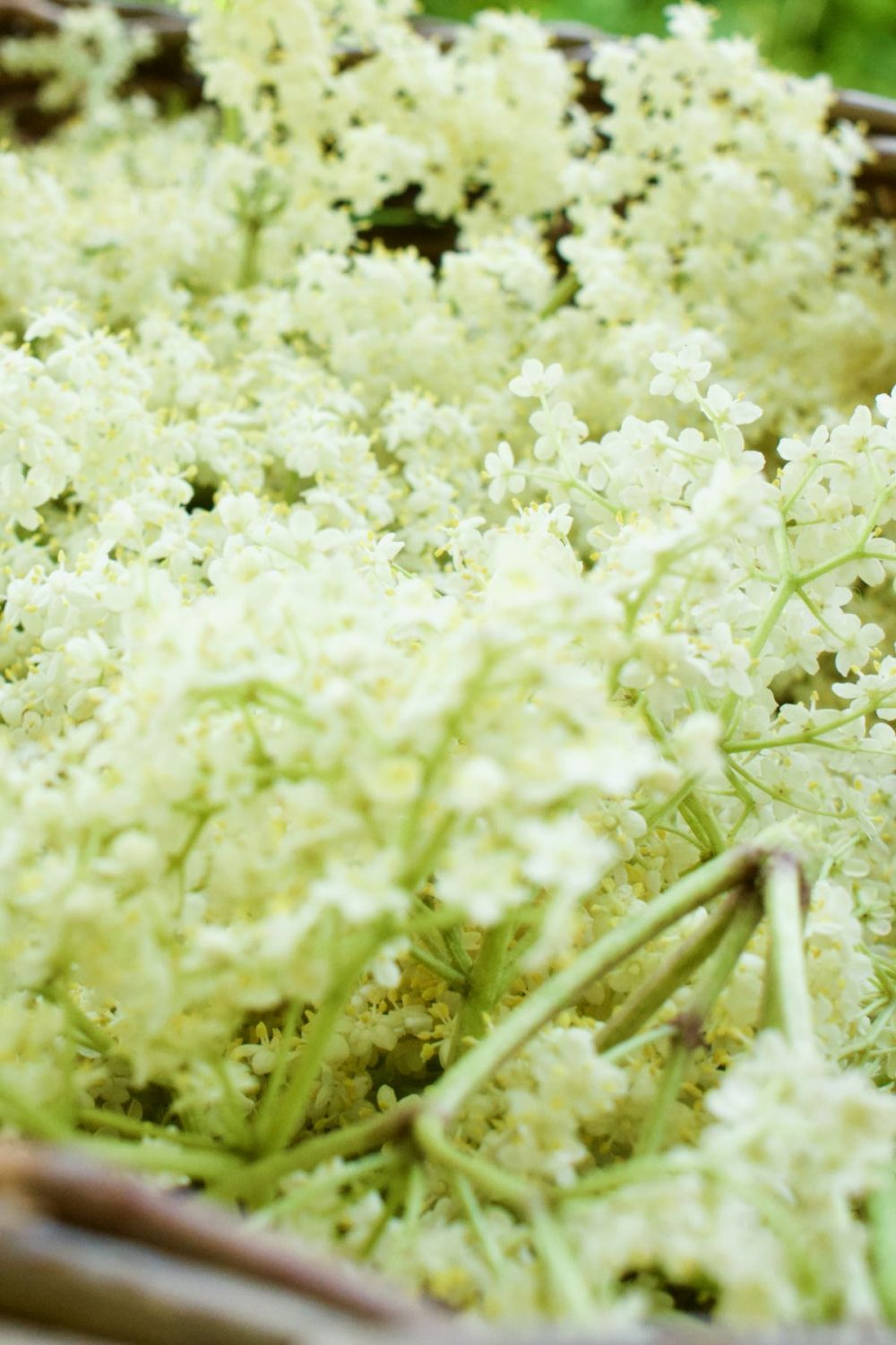 A cloud of white elderflowers collected in a basket